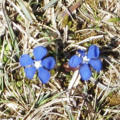 Spring Gentian - Free Crochet Flower Brooch Pattern